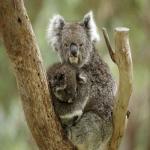 Koala-Tee productions