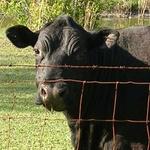 Major Cow